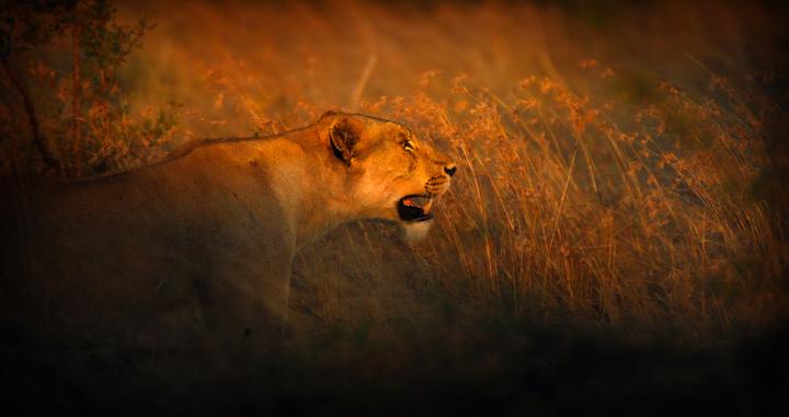 leigh-diprose-lioness_720